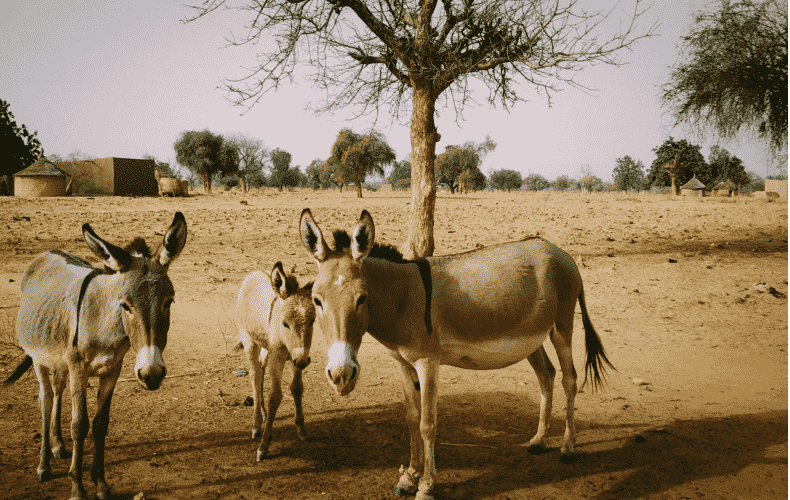 Horses and donkeys revive a desert biotope